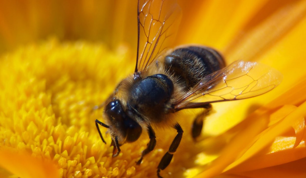 vcela pijuca nektar na slnecnici